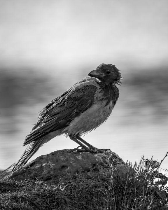 Black bird - MWolverine
