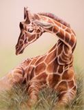 Giraffe resting in the grass.