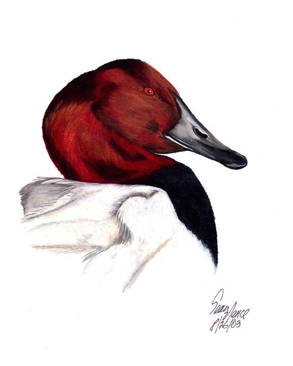 Canvasback - Sean's Wildlife Images