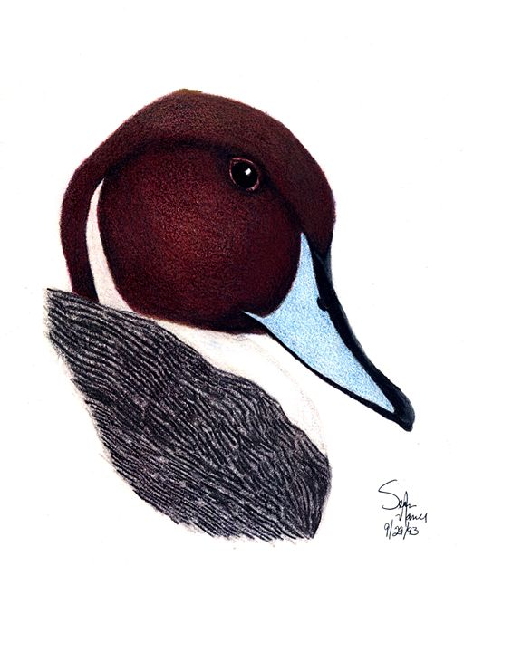 Pintail - Sean's Wildlife Images