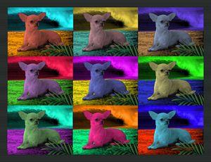 Chihuahua Surf POP Giclee Canvas