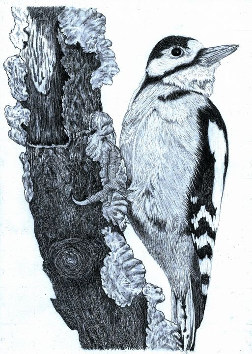 Gt Spotted Woodpecker-Pencil Drawing - red-amber65