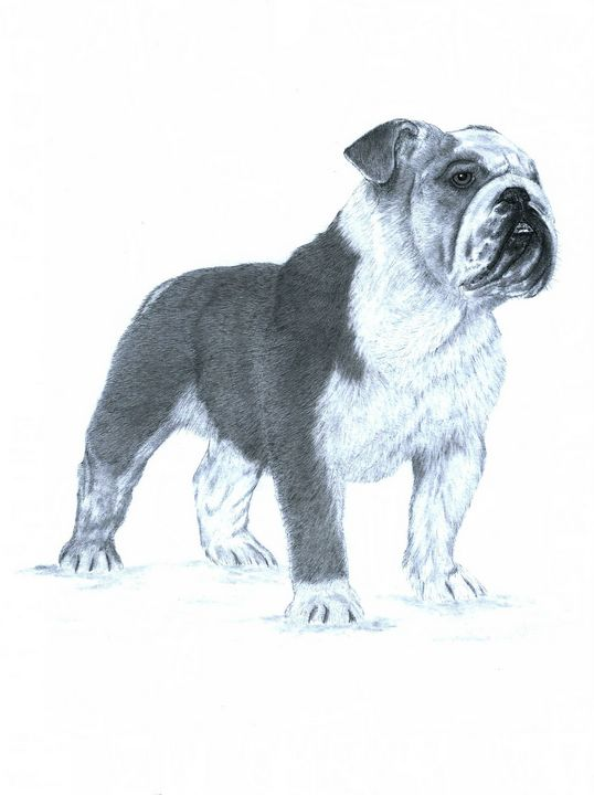 Bull Dog - Pencil Drawing - red-amber65