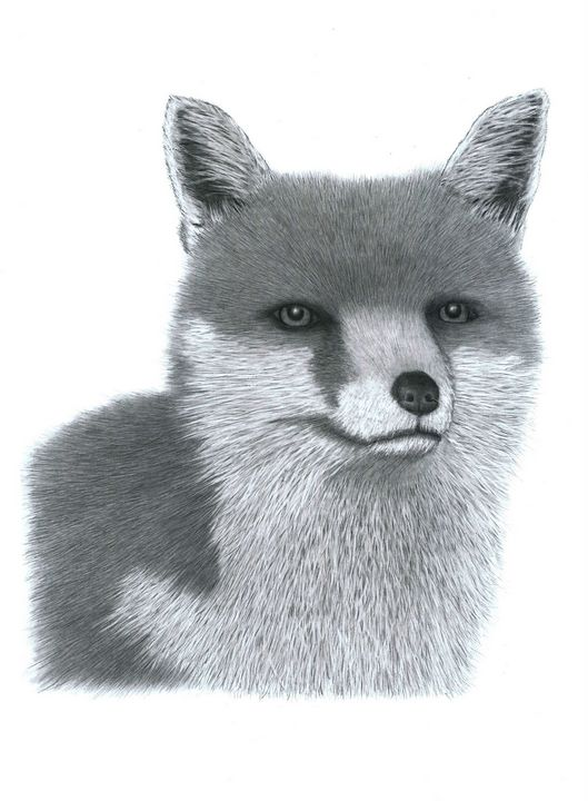 Fox - Pencil Drawing - red-amber65
