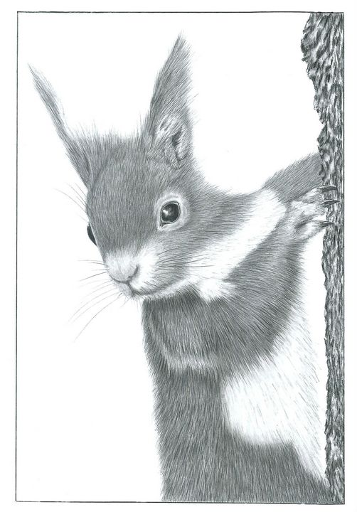 Red Squirrel - Pencil Drawing - red-amber65