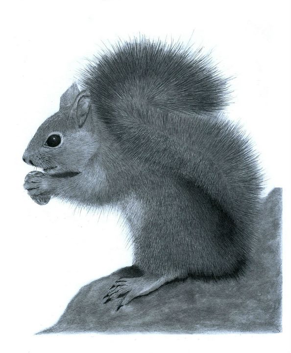 Squirrel #2 - Pencil Drawing - red-amber65