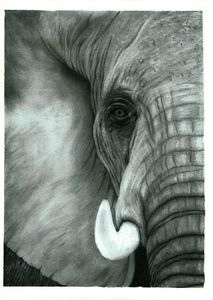 Elephant Head Close Up - Pencil Draw