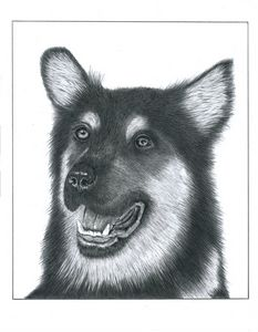 Alsatian - Pencil Drawing