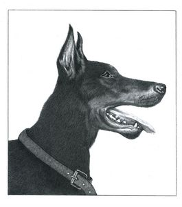 Doberman Pinscher - Pencil Drawing