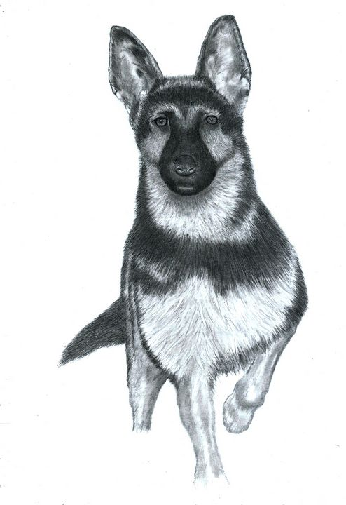 Alsatian #2 - Pencil Drawing - red-amber65