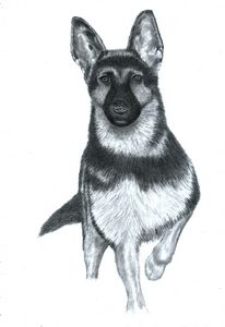 Alsatian #2 - Pencil Drawing
