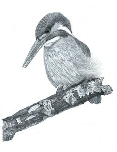 Kingfisher #1 - Pencil Drawing