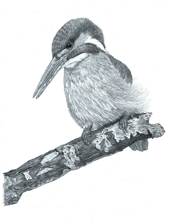 Kingfisher #1 - Pencil Drawing - red-amber65