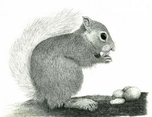 Red Squirrel #1 - Pencil Drawing