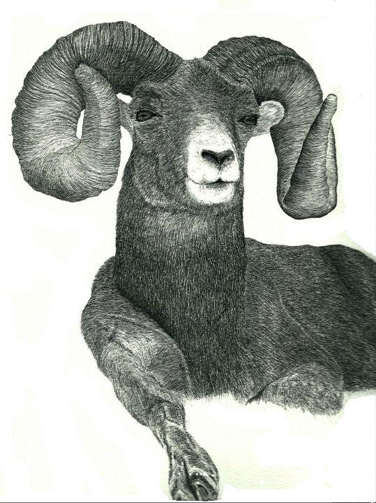 Bighorn Sheep - red-amber65