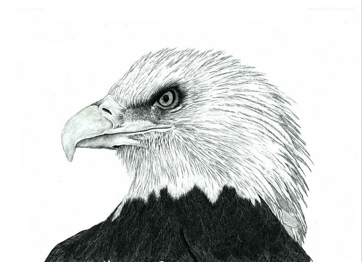 Bald Eagle - Pencil Drawing - red-amber65