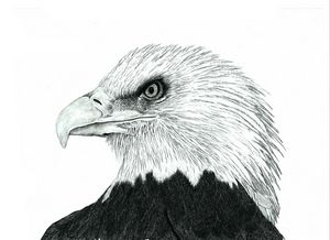 Bald Eagle - Pencil Drawing