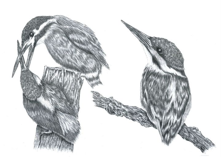 x3 Kingfishers - Pencil Drawing - red-amber65