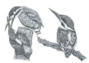 x3 Kingfishers - Pencil Drawing