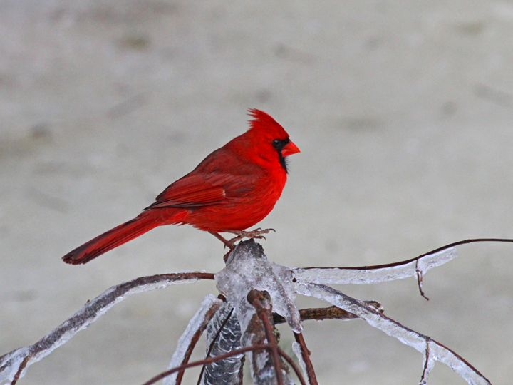 The Cardinal - PictureNC