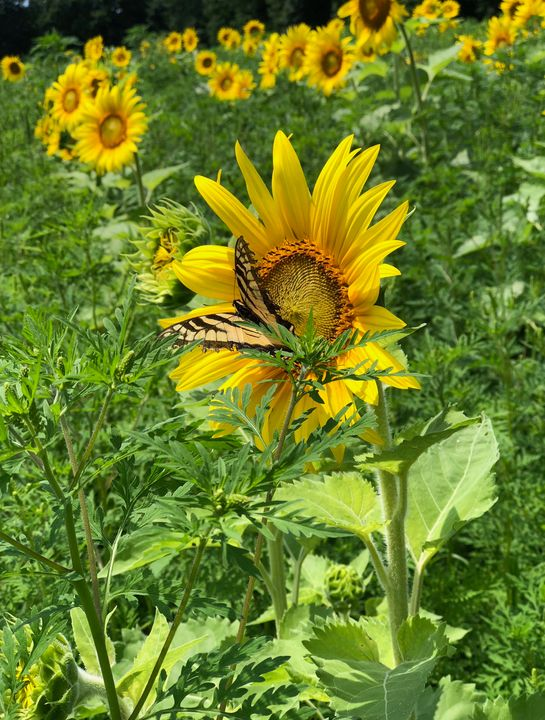 Sunflower Butterfly - Katie Wagner Photography