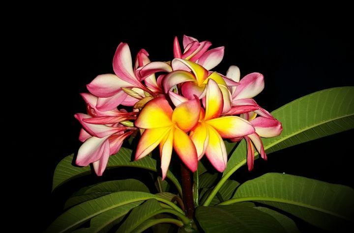 frangipani flower. - A malins sketch art.