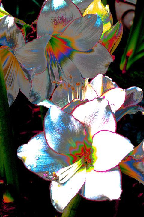 Amaryllis Dream - David Fleming Photographs