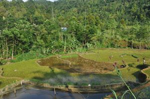 Ricefield in Central Java