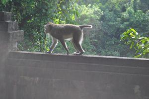 Monkey in padang-padang - Kwazen Gallery