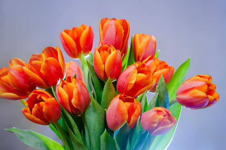 Bouquet of red tulips - Photo