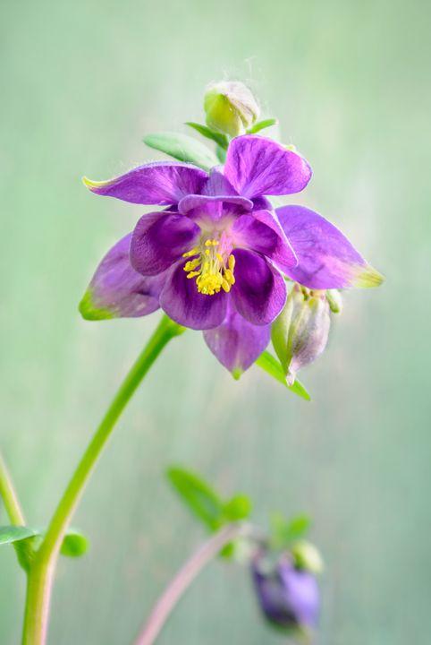 Aquilegia — elf's flower - Photo