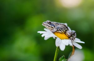 Little frog on a camomile