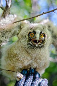 Nestling owl