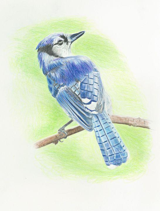Blue Jay - M. Scott Spence Fine Art & Illustration