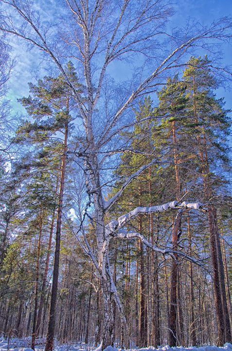 Winter. Forest. Birch - mnwind