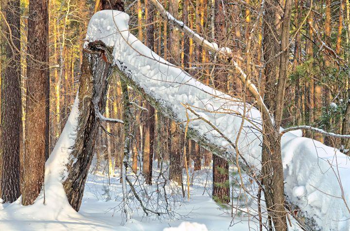 Winter. Forest. Broken tree - mnwind