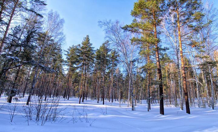 Winter. Forest. Shadow - mnwind