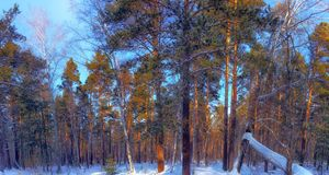 Winter. Forest. Sunlight