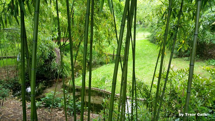Bamboo in a park - Trsor Cath