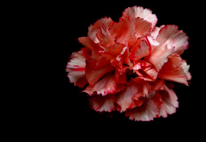 Pink Rose - Havalah's Photography