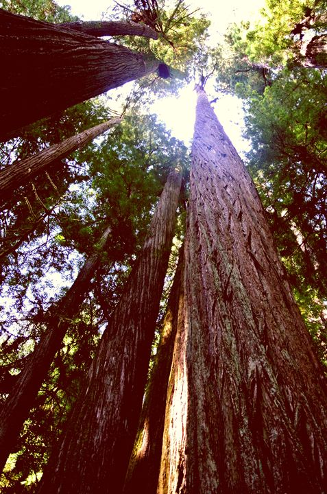 Redwood Forest - Havalah's Photography
