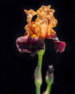 Iris, Spring 2020