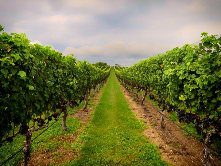 The Vineyard - Michael Barone Photography
