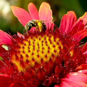 Bee on a Mexican Hat Flower