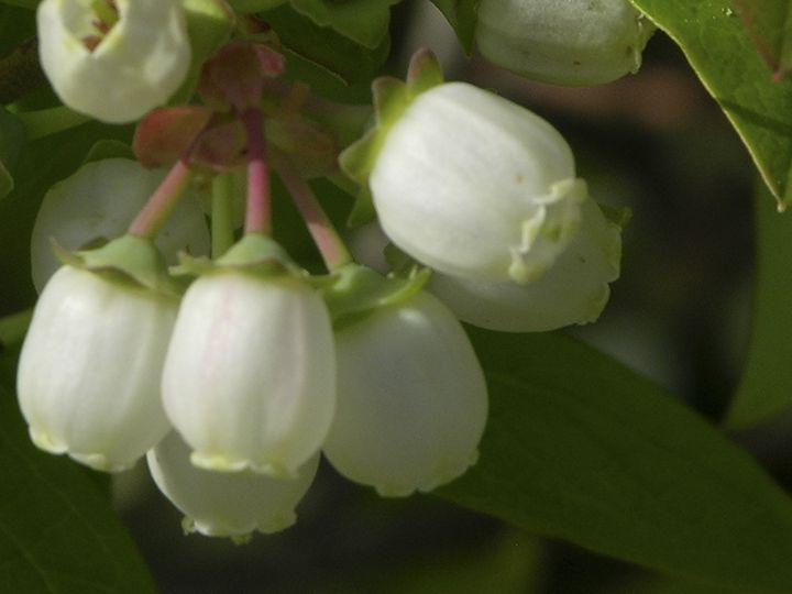 Blueberry Blossoms - Johnson Photography