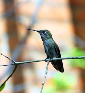 Desert Hummingbird - Sharon Nolan Photography
