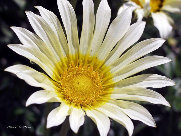 Eye of the Daisy - Sharon Nolan Photography