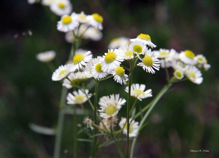 Field of Daisies - Sharon Nolan Photography