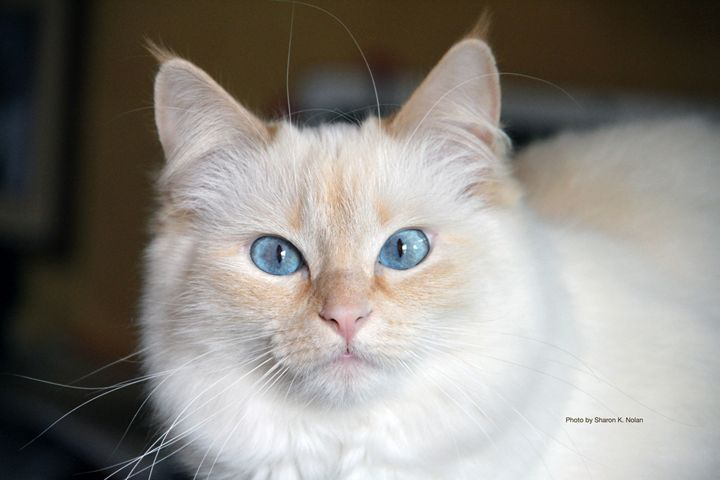 Molly the Ragdoll - Sharon Nolan Photography