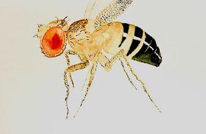Drosophila melanogaster - L.A.Darwinci